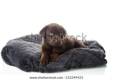 Brown labrador retriever puppy laying on dog bed