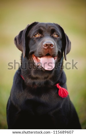 brown labrador sitting on the grass in summer