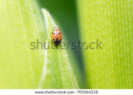 Brown ladybug. #705064258