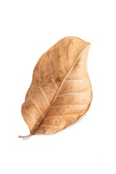 brown leaf on white background.