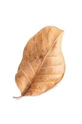 brown leaf on white background.