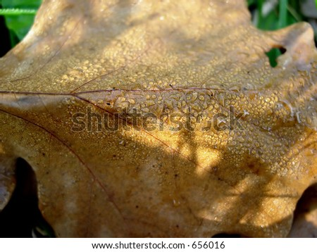 Brown leaf with dew