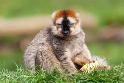 Brown Lemur a common primate found in the Madagascar jungle rainforest  stock photo