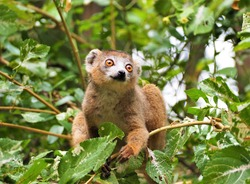 Brown lemur in national park in Madagascar