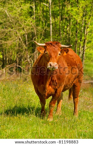 Brown Limousin cow as typical breed in France