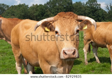 brown limousine cow in a dutch meadow