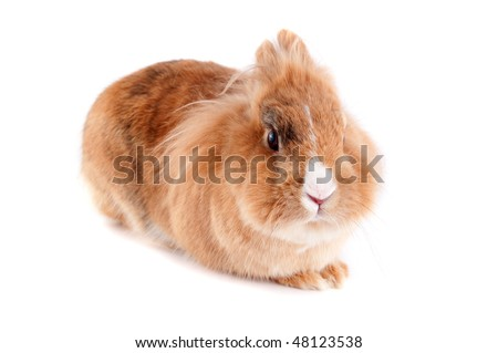 Brown and white lionhead rabbit - photo#24