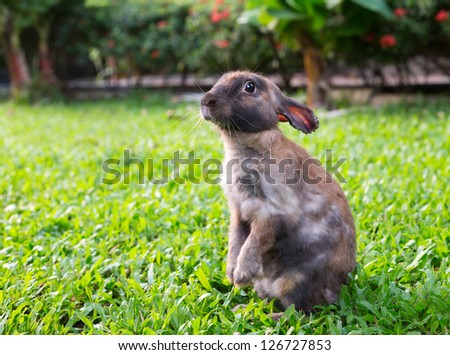 Brown little rabbit standing on hind legs in the garden on the green grass
