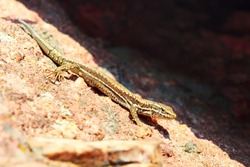 Brown lizard on the stone background with copy space