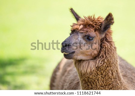 Brown llama on the right with copy space on the left green background blurred with small shadow brown furry farm animal portrait of llamas alpaca  #1118621744