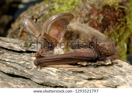 Brown Long Eared Bat #1293521797
