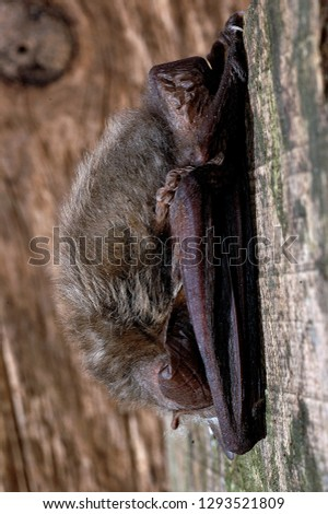 Brown Long Eared Bat #1293521809
