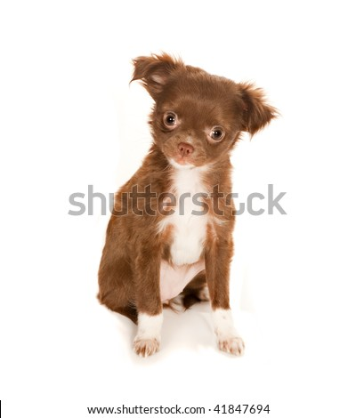 long haired chihuahua puppies for sale. long haired chihuahua puppies