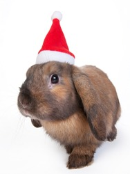 brown lop eared dwarf rabbit in santa, isolated