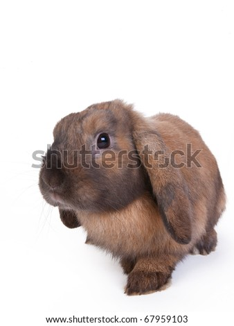 brown lop eared dwarf rabbit, isolated