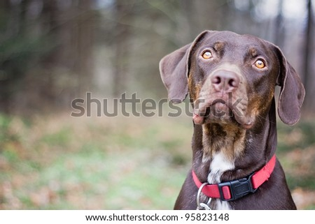 Brown Louisiana Catahoula Leopard Dog Portrait