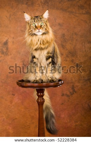 Brown lynx Maine Coon on wooden pedestal on brown mottled background - stock photo