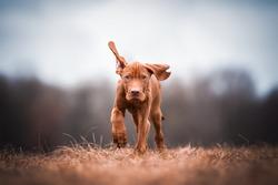brown Magyar Vizsla puppy running