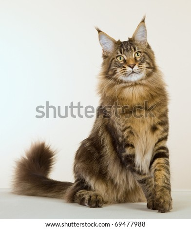 Brown Maine Coon cat on off white background