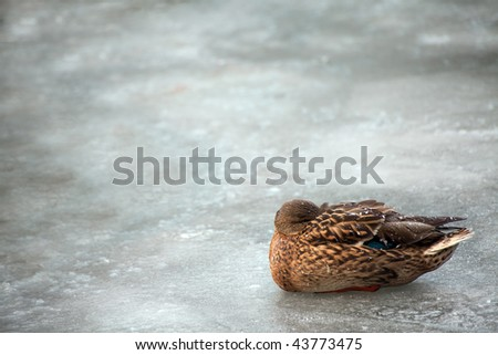 Brown mallard duck curled up on winter ice