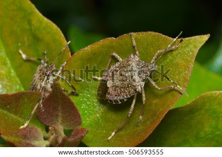 Brown marmorated stink bug (Halyomorpha halys) agricultural pest; italian cimice asiatica