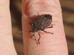 Brown marmorated stink bug (Halyomorpha halys) animal of phylum Euarthropoda Hexapoda, clade Pancrustacea, class Insecta (insects)