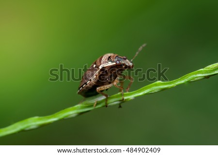 Brown marmorated stink bug (Halyomorpha halys) crawl slowly on a thin stem isolated with soft and green background