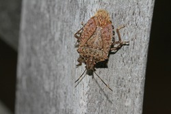 brown marmorated stink bug or shield bug Latin halyomorpha halys from the pentatomidae group of insects on a wooden beam in Italy native to China and Asia but now a serious pest in Europe and the USA
