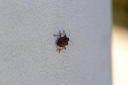 brown marmorated stink bug or shield bug Latin halyomorpha halys from the pentatomidae group of insects on a white wall in Italy native to China and Asia but now a serious pest in Europe