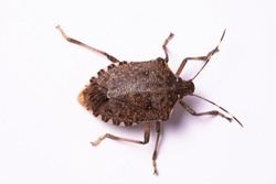 Brown marmorated stink bug top view close up