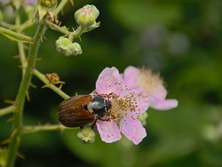 Brown maybug on a blackberry flower.