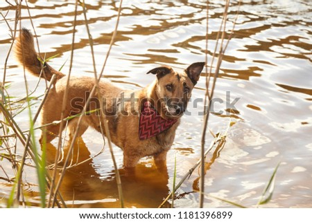 brown medium dog in lake with red bandana #1181396899