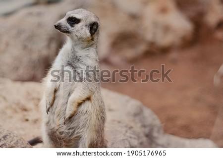 brown meerkat in its habitat Stockfoto ©