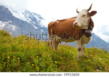 Brown milk cow in a meadow of grass and wildflowers with the Alps in the background
