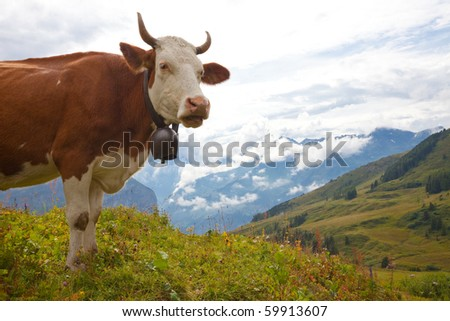 Brown milk cow overlooking beautiful vista on meadow in the European Alps