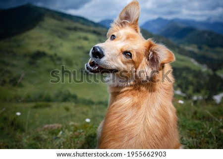 Brown mixed breed dog with tongue out and happy face in the mountains. Hiking with dog. Foto d'archivio ©