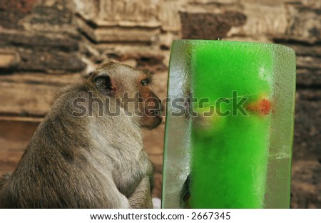 Brown monkey licked green ice