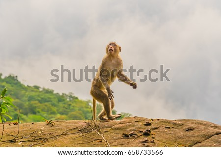 Brown Monkey takes on human like  characteristics, as it stands erect on a large rocky outcrop against a cloudy  sky.