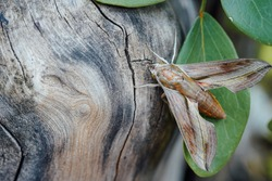 brown moth camouflages itself with bark of a tree