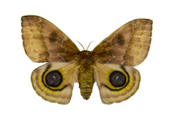 brown moth on white