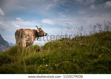 Brown mountain cows grazing on an alpine pasture in the Bernese Alps in summer. Grindelwald, Jungfrau region, Bernese Oberland, Switzerland #1150179038