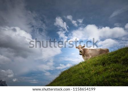 Brown mountain cows grazing on an alpine pasture in the Bernese Alps in summer. Grindelwald, Jungfrau region, Bernese Oberland, Switzerland #1158654199