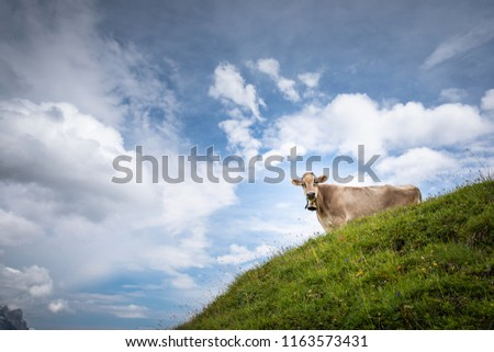 Brown mountain cows grazing on an alpine pasture in the Bernese Alps in summer. Grindelwald, Jungfrau region, Bernese Oberland, Switzerland #1163573431