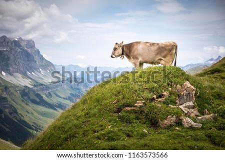 Brown mountain cows grazing on an alpine pasture in the Bernese Alps in summer. Grindelwald, Jungfrau region, Bernese Oberland, Switzerland #1163573566