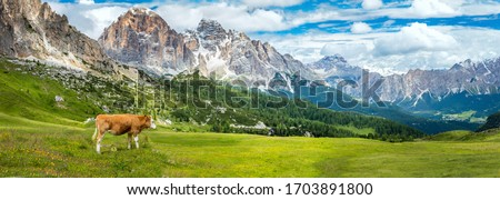 Brown mountain cows grazing on an alpine pasture in the Bernese Alps in summer, panoramic view with mountain range, big resolutions