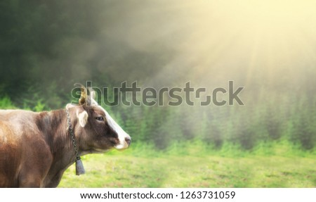 Brown mountain cows grazing on an alpine pasture in the Bernese Alps in summer. Space for text #1263731059
