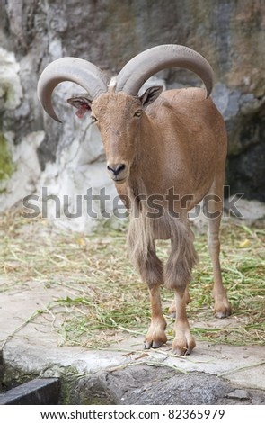 Brown Mountain Goat