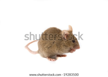 Brown mouse isolated on white.
