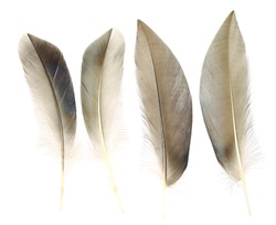 Brown of wild duck feathers collection, Isolated on the white background