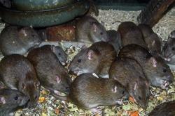 Brown or Norway Rat (Rattus norvegicus)